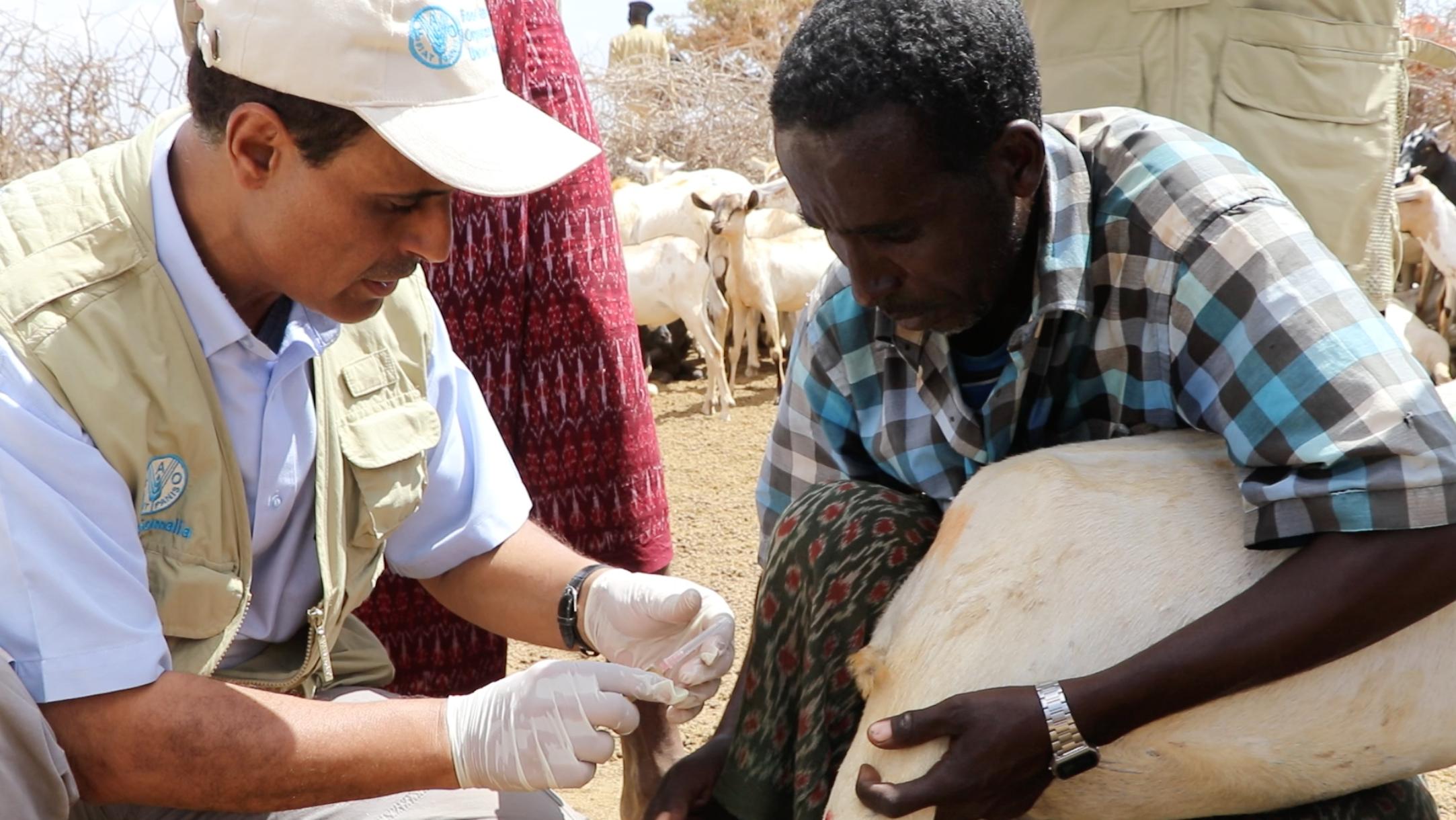 Somalia Drought Decimates Livestock – Voice of America (image)