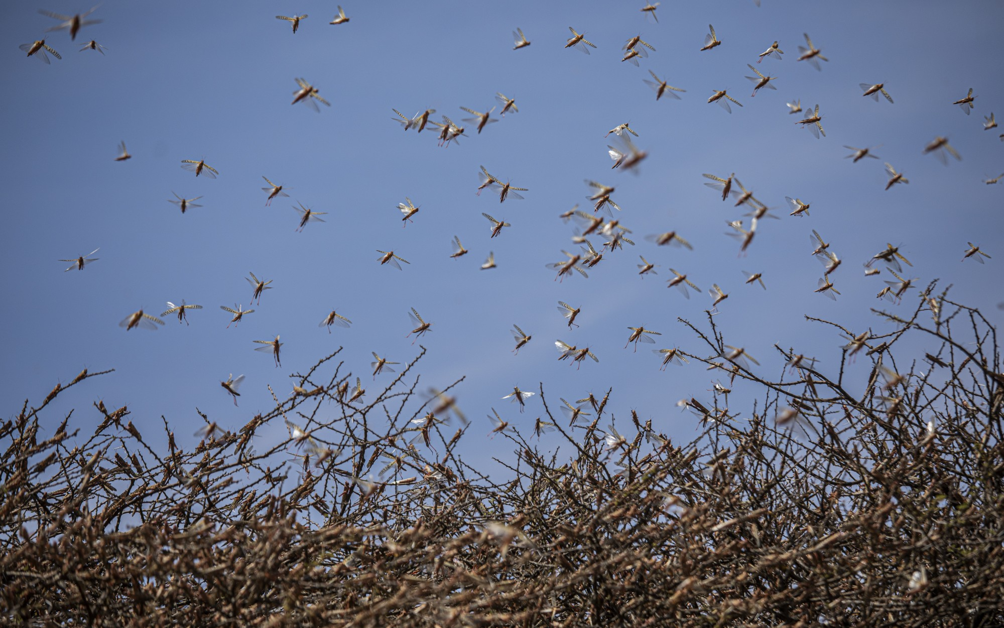Like a biblical plague, locusts swarm East Africa, laying waste to crops and livelihoods – Los Angeles Times (image)
